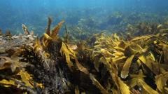 Nature background seaweed garden underwater view Stock Footage
