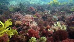 Stock Video Footage of Purple and yellow seaweeds underwater