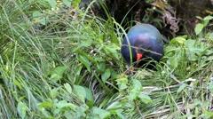 Takahe endangered New Zealand bird Stock Footage