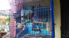 Cuckoo in a cage Stock Footage