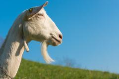 goat with beard - stock photo