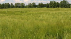 Field with barley Stock Footage