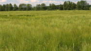Stock Video Footage of Field with barley