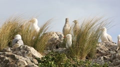 Red billed gulls and chicks Stock Footage