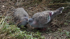 Two cute cuddling crested pigeon seems like two kissing pigeons. - stock footage
