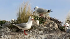 Stock Video Footage of Red billed gulls and chicks