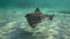 Eagle ray swimming underwater at sandy beach Stock Footage