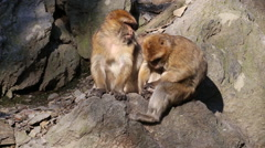 Barbary macaque Stock Footage