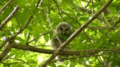 Face of cute owl_128 Stock Footage