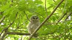 Face of cute owl_129 Stock Footage