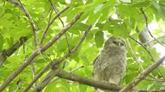 Face of cute owl_132 Stock Footage