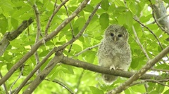 Face of cute owl_135 Stock Footage