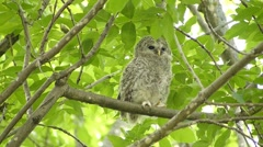 Face of cute owl_137 Stock Footage