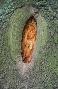 hollow in tree - stock photo