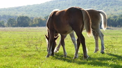 Two horses graze grass on green meadow 2 Stock Footage