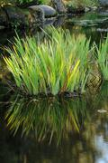 lotus plant growing in calm garden pond water - stock photo
