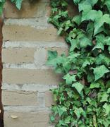 Ivy growing on an adobe brick wall Stock Photos
