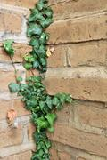 ivy growing on an adobe brick wall - stock photo