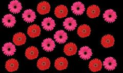 a bunch of pink and red flowers with pedals isolated on pitch black backgroun - stock photo
