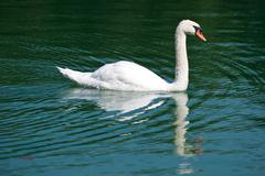 White swan on the lake. Stock Photos