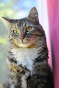 An indoor maine coon kitty cat sitting on the window cell staring at the came Stock Photos