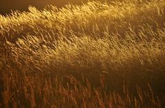 closeup of wheat with the warm sun shining back light on it. - stock photo