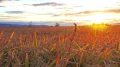 Wheat field at sunset sunshine, steadycam sony 4k stabilized shoot Stock Footage