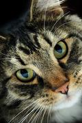dramatic closeup portrait of a cat facing the camera - stock photo
