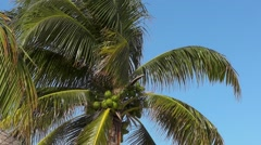 Palm tree with coconuts against the sky Stock Footage