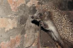 curious small hedgehog in a metal box. - stock photo
