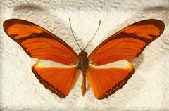 Stock Photo of heliconius julia butterfly.