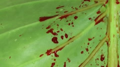 Blood Drops on Green Leaf Stock Footage