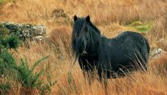 Black Horse Eating Grass Looks Up Stock Footage
