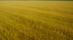 Stock Video Footage of Mid air rear view of golden wheat field