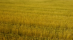 Aerial view decelerate over golden wheat fields Stock Footage