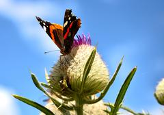 Butterfly on the thistle Stock Photos