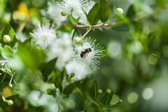 Honey bee on a white flower Stock Photos