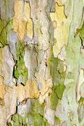 Bark of plane tree Stock Photos
