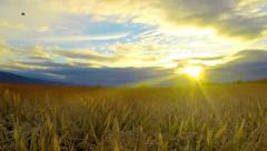 Timelapse of ears of wheat swaying in the breeze at sunset Stock Footage