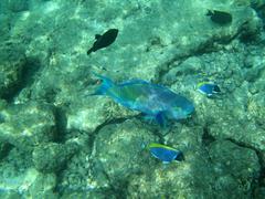 Sea fish in the Indian Ocean Parrot fish Stock Photos