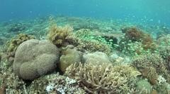 Spawning Blue-Green Damselfish Stock Footage