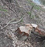 Beaver chewed tree trunk - stock photo