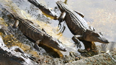 Baby Alligators - stock footage