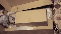 Hiding in carton box british cat Stock Footage