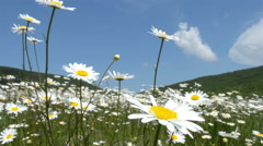 Chamomile flowers meadow - stock footage