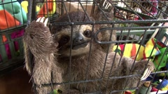 Sloth at eco centre Stock Footage