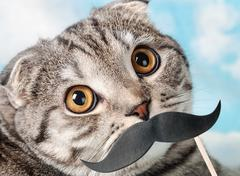 Portrait of a young scottish fold cat with paper mustaches Stock Photos