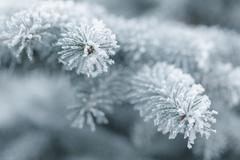 winter background with frosty fir branches - stock photo