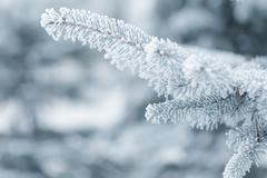 Stock Photo of winter background with frosty fir branches
