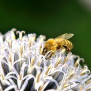 honeybee - stock photo